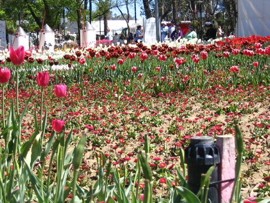 Tulip gaps at Floriade 05