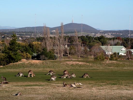 Kangaroos on Gold Creek Golf Course.
