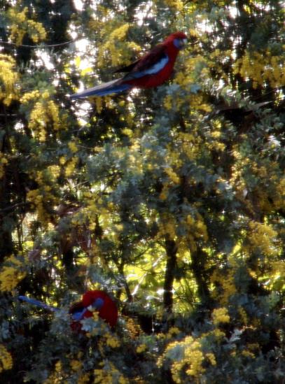 Rosellas in the wattle as seen from John\'s shower.