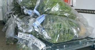 Non suspicious house fire reveals cannabis cultivation