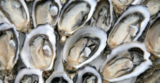 Oy, oy, oy, oysters!