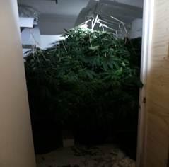 cannabis-180914