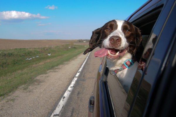 dog-in-a-car-stock-150914