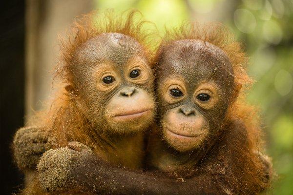 orangutans-220914