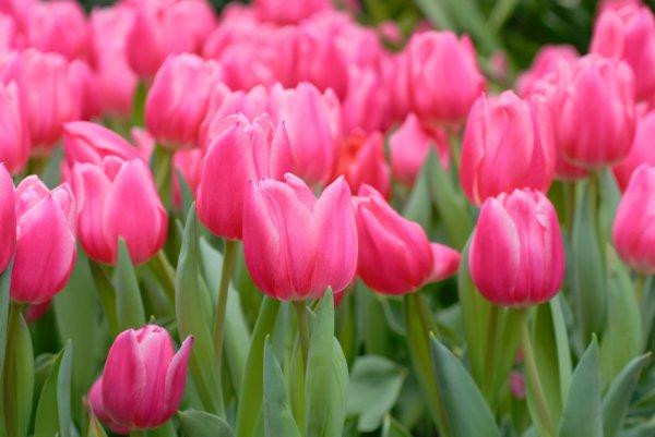 tulips-stock-110914