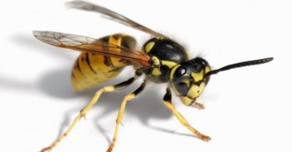 High number of wasp reports