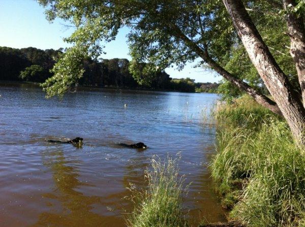 dog-swim-c