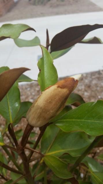 magnolia20150220_131036