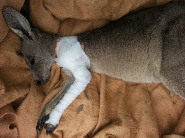 kangarooIMG_5707