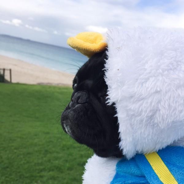 Punky the Pug