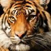 tiger trivia night