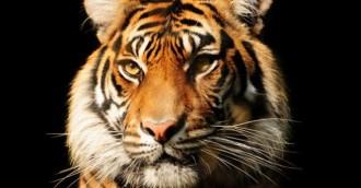 Trivia night fundraiser for Sumatran tigers