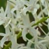 Dendrobium speciosum - Rock Lily