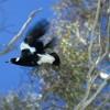stock-magpie