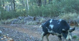 Three men fined over Namadgi pig hunt
