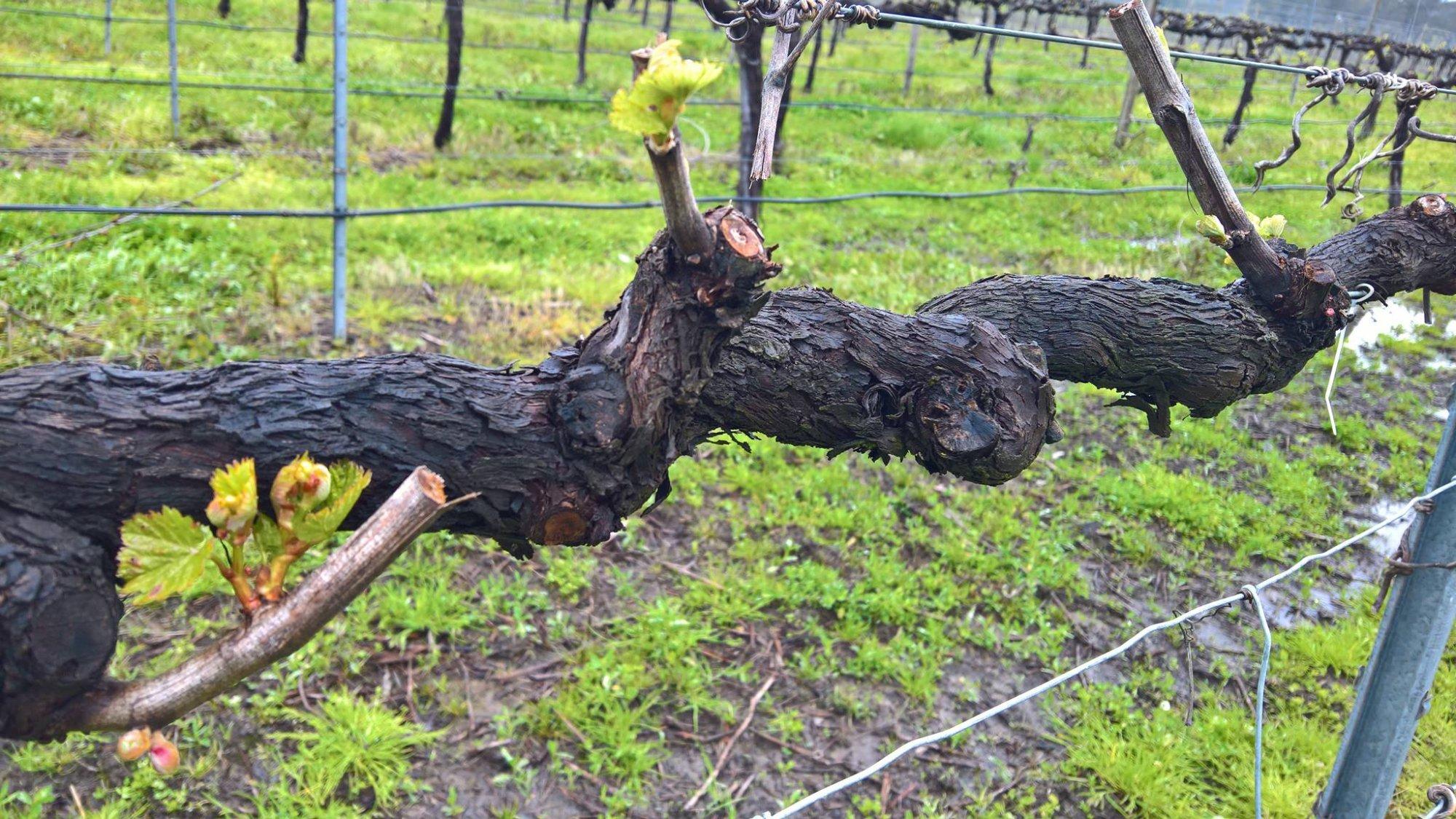 Vines at Dal Zotto