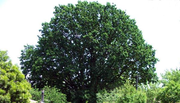 Braddon-Oak-600