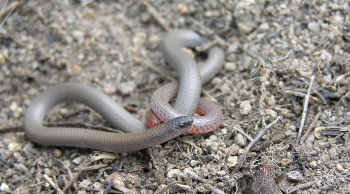 New plan to help pink-tailed worm lizard