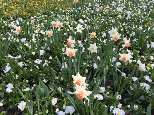 Floriade daffodils