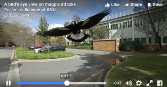 ANU scientists  8217  magpie swooping video goes viral