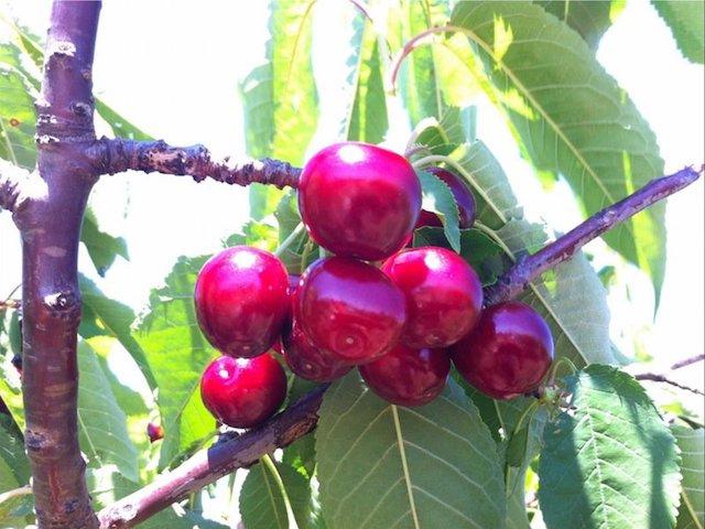 Young cherries. Photo: VisitNSW.