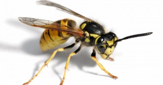 Tis the season    for European wasps and bed bugs