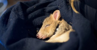 Bettongs fall prey to foxes in risky trial release