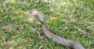Woman, 18, bitten by brown snake in Kambah