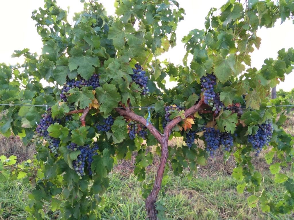 grapes cowra