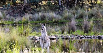 Activists vow to continue their fight as Canberra   s kangaroo cull starts tomorrow