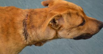 Higgins woman found guilty after RSPCA seized dog with chain embedded in throat