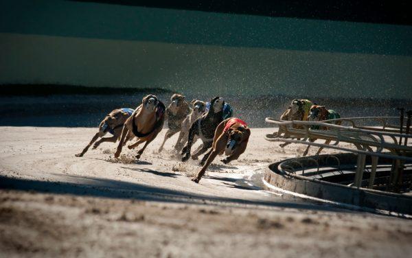 Greyhounds. Photo: iStock