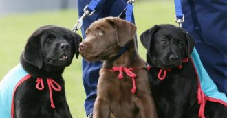 Lovely labs helping vets and first responders with PTSD