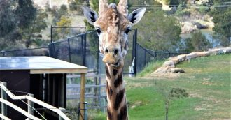 Meet Hummer the giraffe     Canberra   s favourite zoo animal!