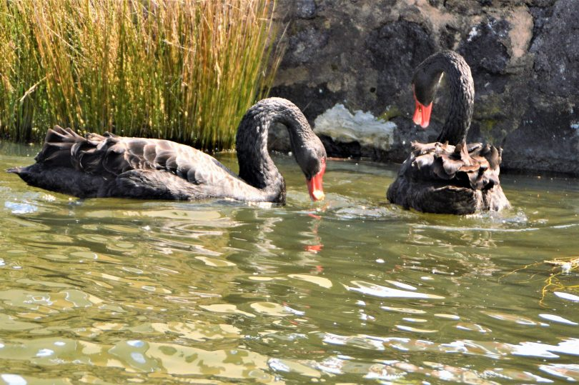 Getting up close to black swans on the lake. Photo by Glynis Quinlan.