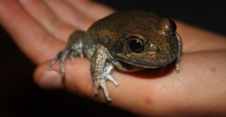 Heat on frog monitoring group as funding dries up