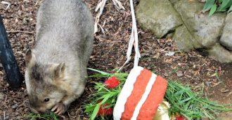 Australia   s oldest wombat celebrates turning 31 today