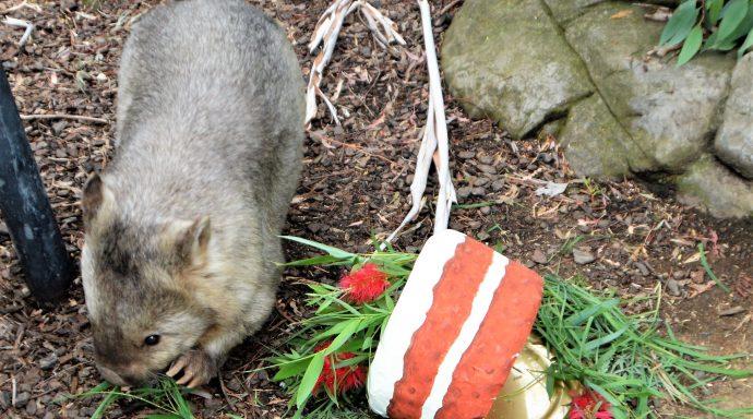Australia's oldest wombat celebrates turning 31 today