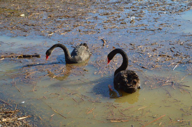 Black swans at Lake Tuggeranong