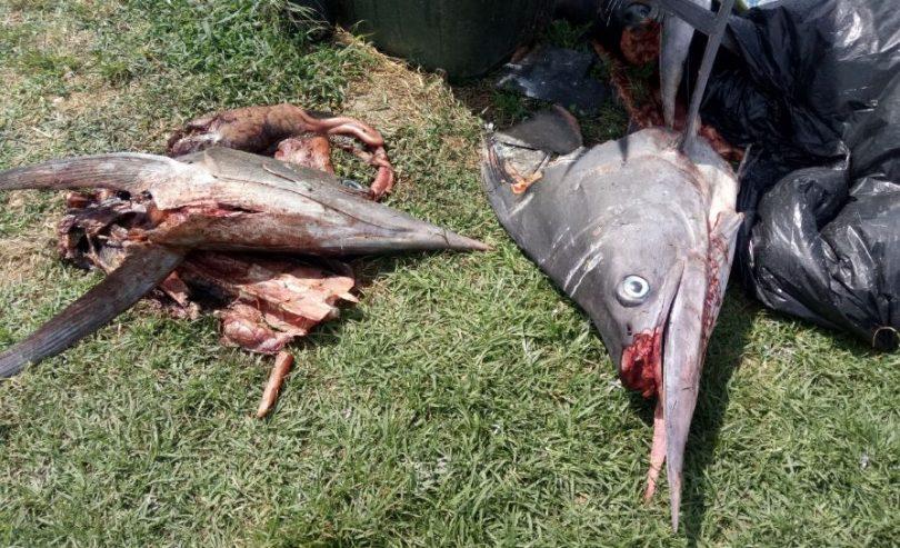 Part of the fishy horror scene at Bermagui Harbour. Photo: Deborah Taylor.