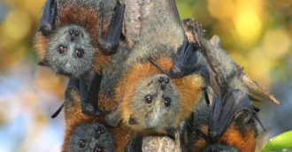 Batemans Bay flying foxes up for discussion