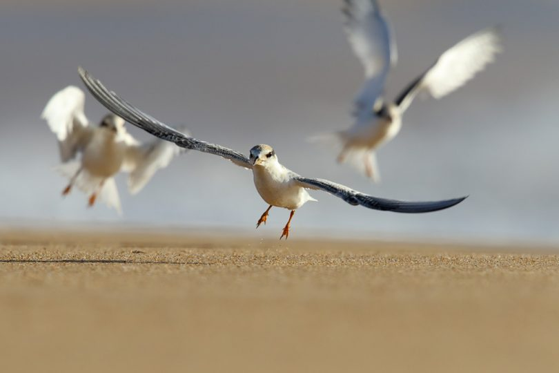 Little Terns at Mogareeka, near Tathra. Photo: Leo Berzins