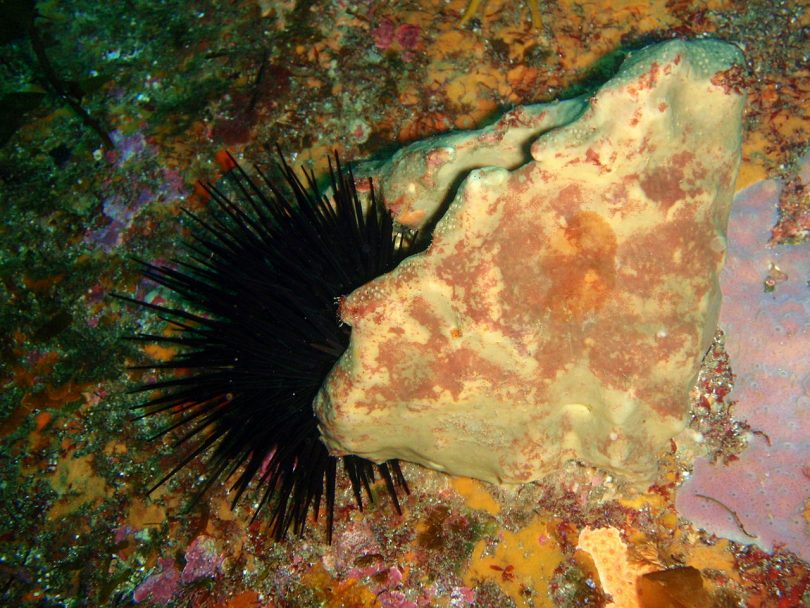 Long Spined Sea Urchins and the barrens that create are being studied in the Batemans Marine Park. Photo: DPI