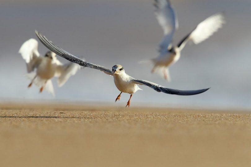The joy of flying, Little Terns in action at Mogareeka. Photo: Leo Berzins.