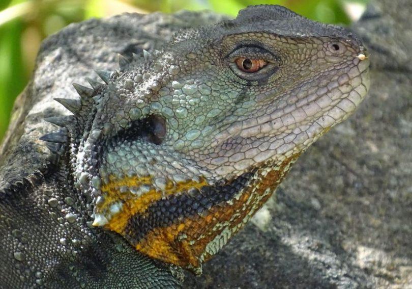Eastern Water Dragon. Photo: Roy McDowall.