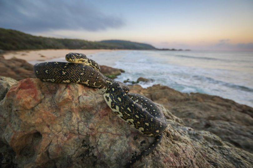 Sunrise Watcher, a young diamond python greets the day. Photo: Harrison Warne