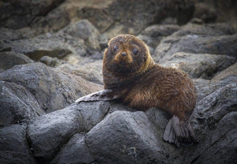 A super cute, fluffy seal pup. Photo: Georgia Poyner.