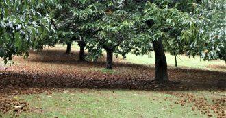 Sweet chestnuts in season