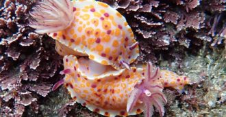 Far South Coast Sea Slug Census sparks new discoveries