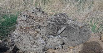 Record European wasp season produces extraordinary nests